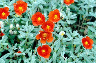 Helianthemum RHS advice amp tips on garden amp indoor plants Plant finder