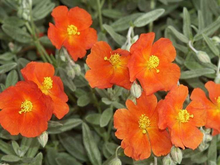 Helianthemum Sun rose or helianthemum good ground cover SFGate