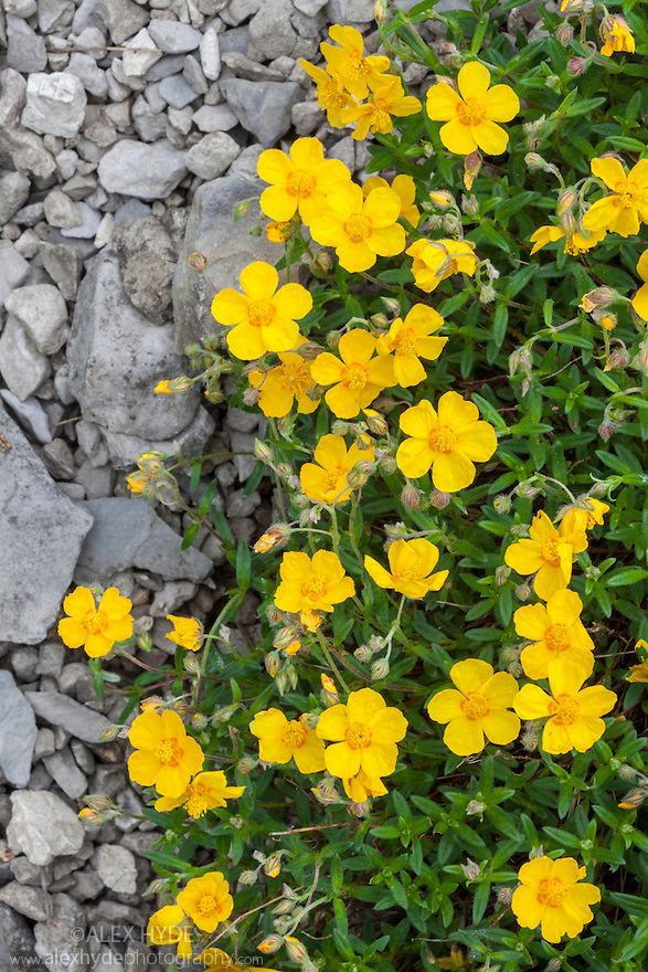 Helianthemum nummularium Common Rock Rose Helianthemum nummularium Alex Hyde