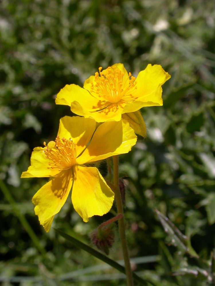 Helianthemum nummularium Helianthemum nummularium L Mill Checklist View