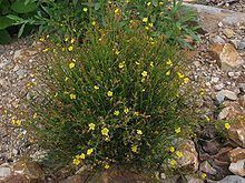 Helianthemum scoparium Helianthemum scoparium Wikipedia