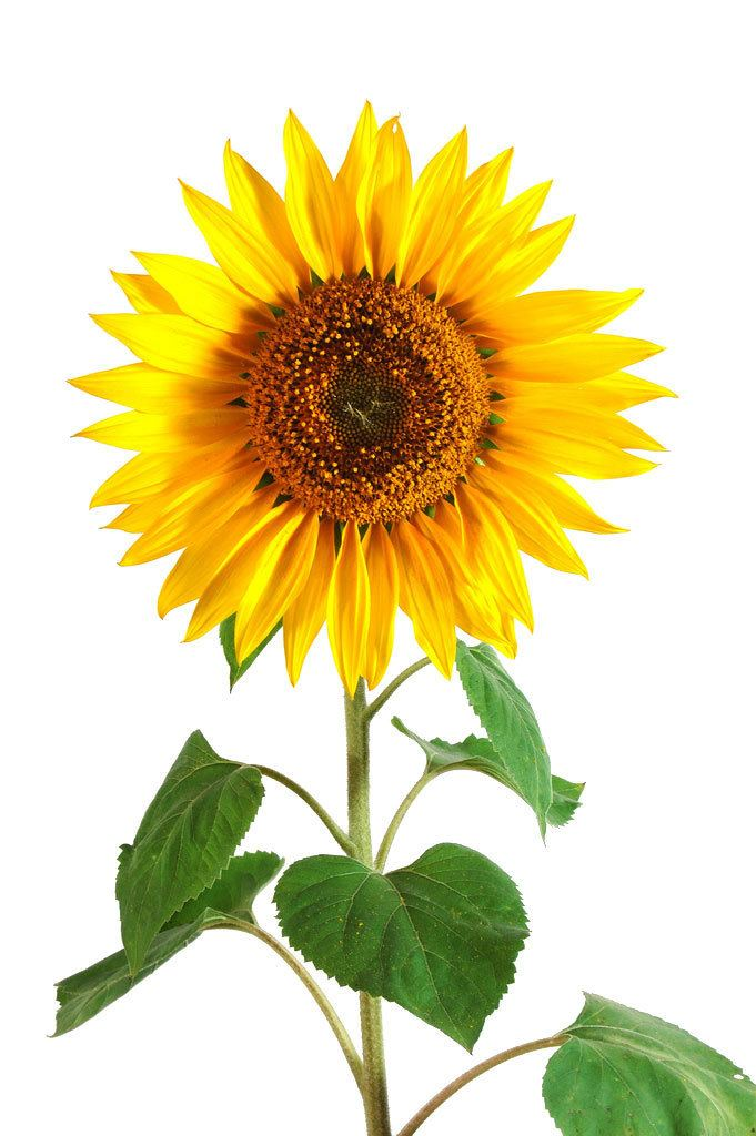 Helianthus Annuus Alchetron The Free Social Encyclopedia