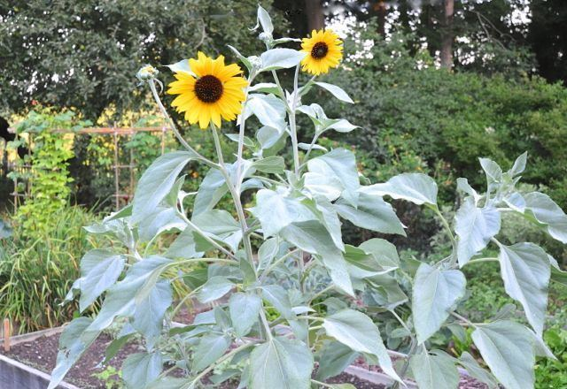 Helianthus argophyllus stalking the beloved silverleaf sunflower helianthus argophyllus