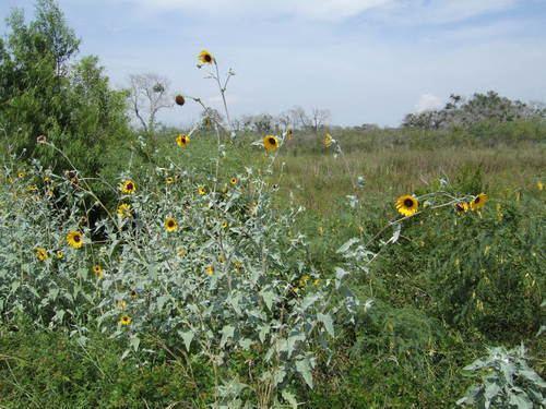 Helianthus argophyllus Silverleaf Sunflower observed by kucycads on August 25 2013