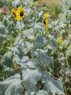 Helianthus argophyllus wwwwildflowerorgimagearchive320x240PCRPCRI