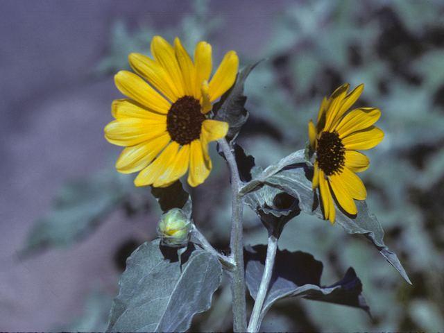 Helianthus argophyllus Helianthus argophyllus Silverleaf sunflower NPIN