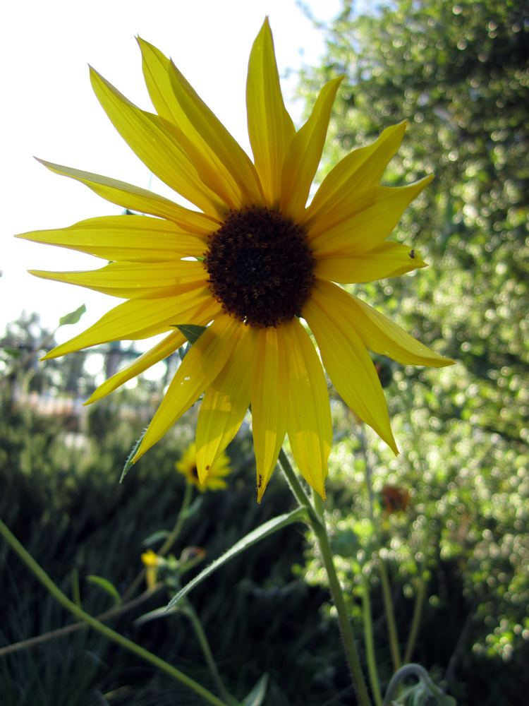 Helianthus californicus FileHelianthus californicus briweldon 001jpg Wikimedia Commons