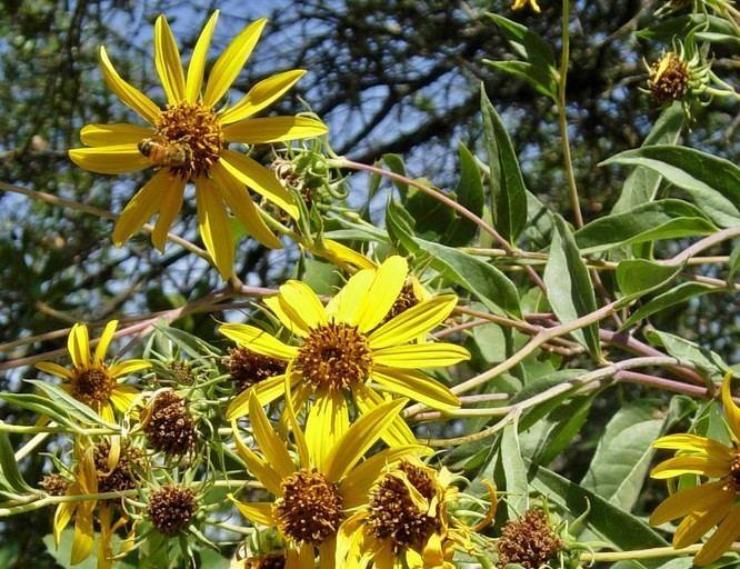 Helianthus californicus - Alchetron, the free social