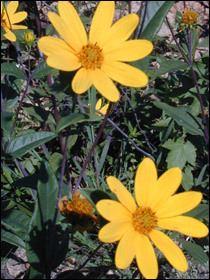 Helianthus eggertii httpsuploadwikimediaorgwikipediacommonsbb