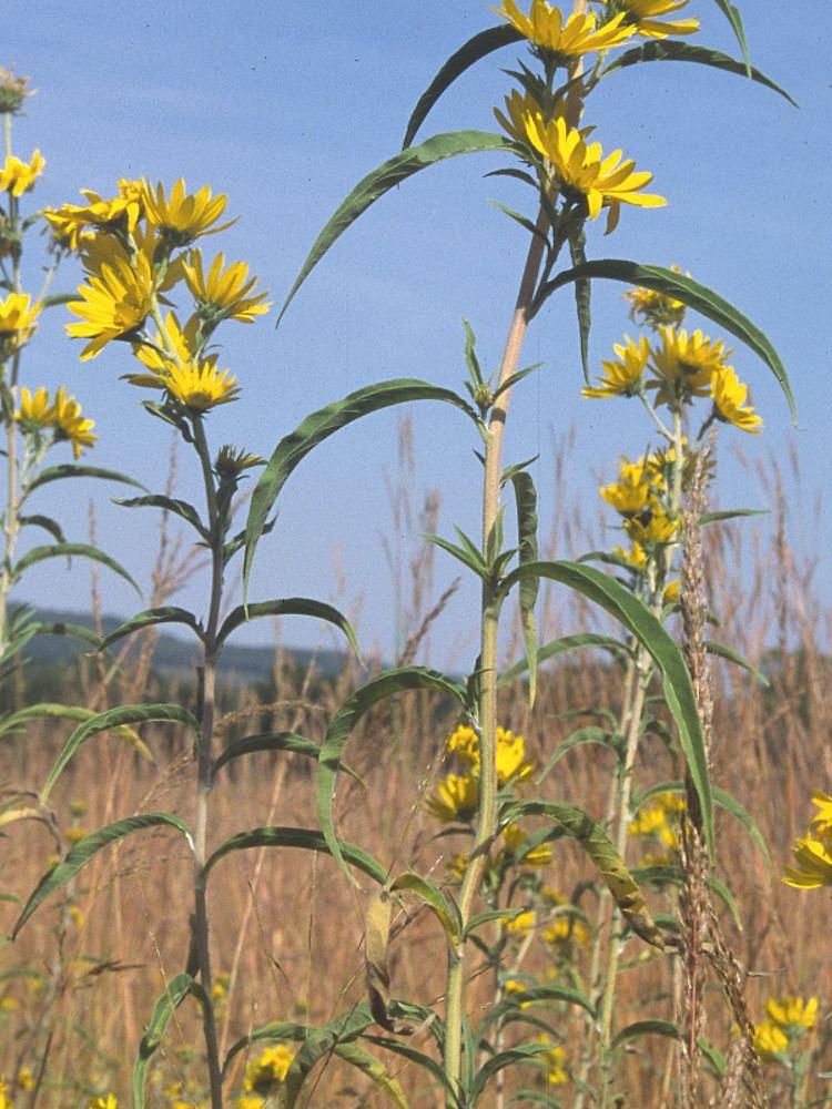 Helianthus maximiliani Helianthus maximiliani Maximilian39s sunflower Go Botany