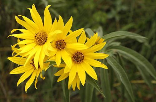 Helianthus maximiliani Sunflowers Perennial Helianthus maximiliani organically grown