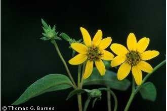 Helianthus microcephalus Plants Profile for Helianthus microcephalus small woodland sunflower