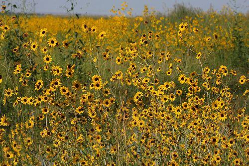 Helianthus paradoxus Pecos Sunflower Helianthus paradoxus a photo on Flickriver