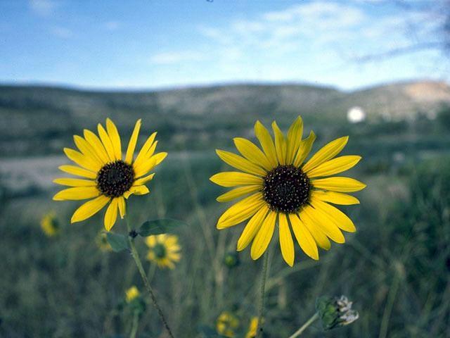 Helianthus paradoxus Helianthus paradoxus Paradox sunflower NPIN