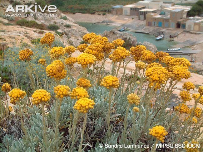 Helichrysum melitense Maltese everlasting videos photos and facts Helichrysum melitense