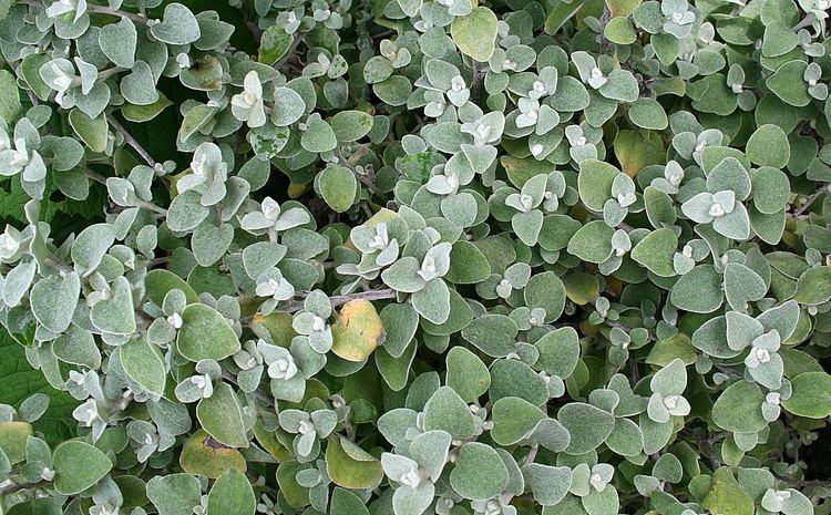 Helichrysum petiolare Helichrysum petiolare Hilliard amp BLBurtt Checklist View