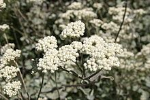 Helichrysum petiolare httpsuploadwikimediaorgwikipediacommonsthu