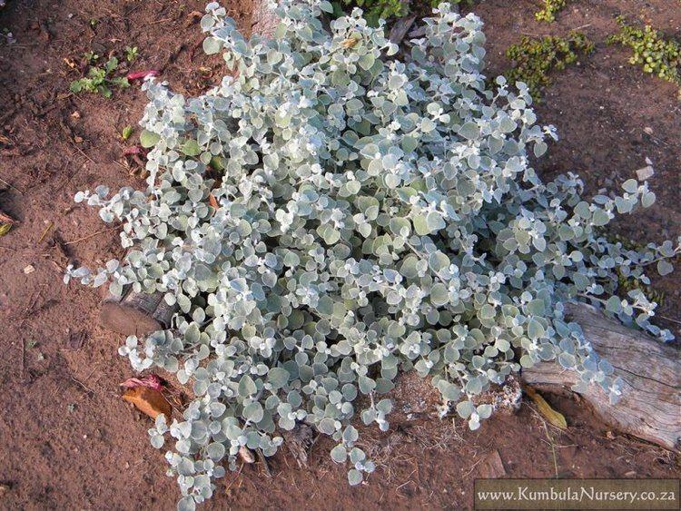 Helichrysum petiolare Helichrysum petiolare Kumbula Indigenous Nursery