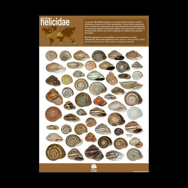 Helicidae Poster on family HELICIDAE Spanish IBERUS SHELLS