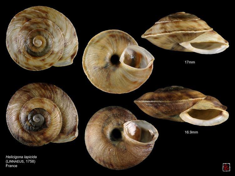 Helicigona lapicida helicigona lapicida france planche Helicidae Ariantinae He Flickr