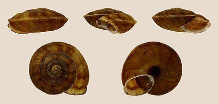 Helicigona lapicida Helicigona lapicida Wikiwand