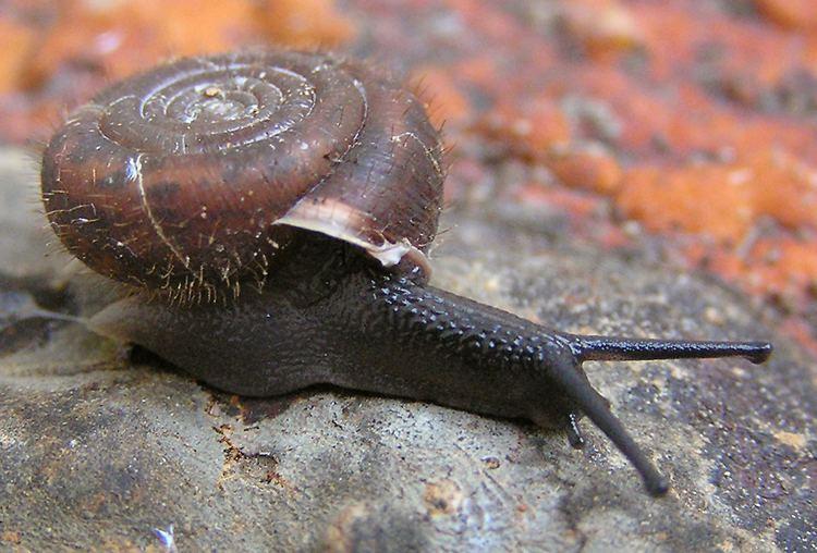 Helicodonta obvoluta AnimalBase listthumbnails