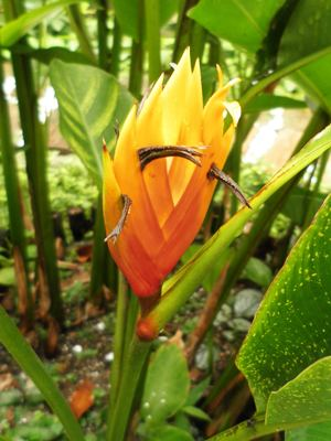 Heliconia episcopalis Heliconia Walk Photo Gallery