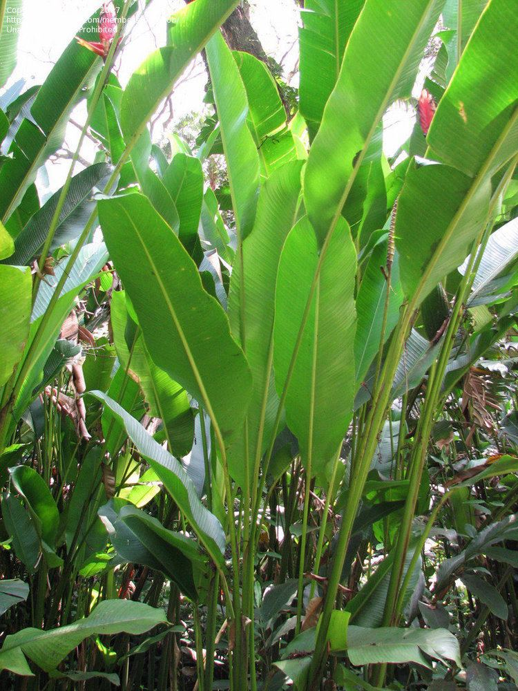 Heliconia episcopalis PlantFiles Pictures Heliconia Heliconia episcopalis by palmbob