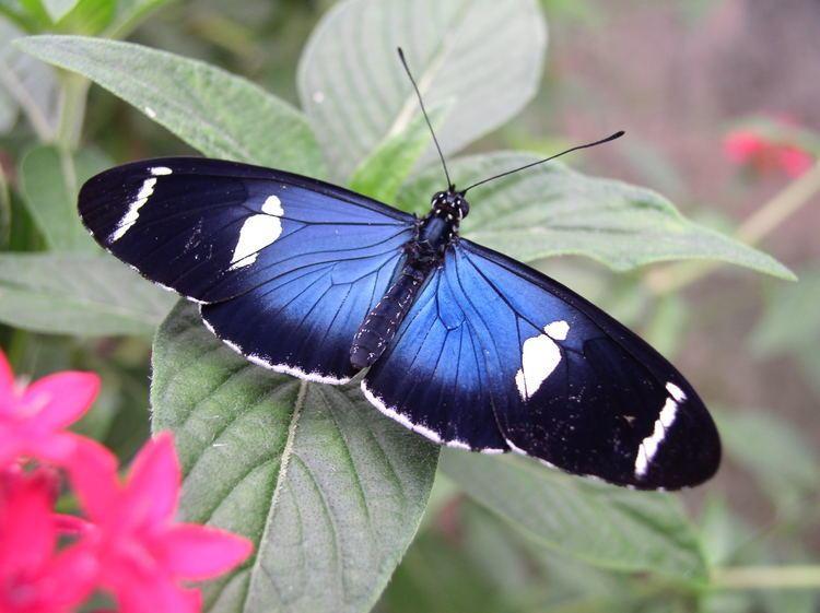 Heliconius Heliconius Butterfly Works Ecuador
