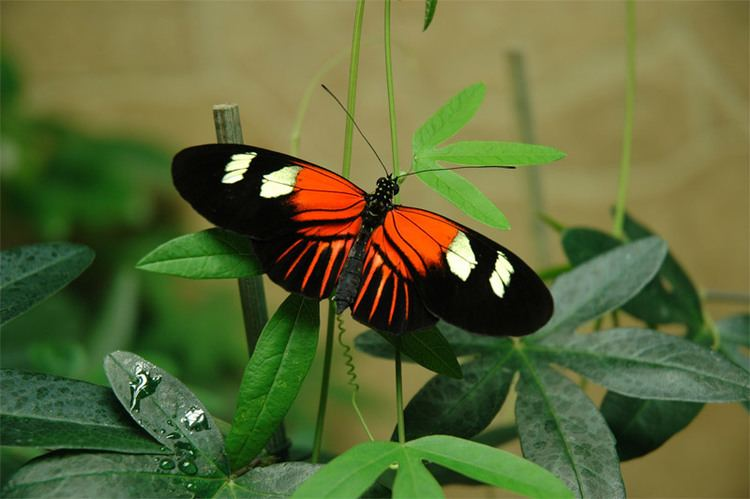 Heliconius Heliconius Butterflies Captive Bred in the UK