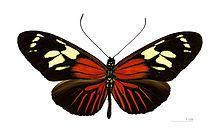 Heliconius burneyi httpsuploadwikimediaorgwikipediacommonsthu