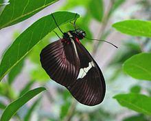 Heliconius clysonymus httpsuploadwikimediaorgwikipediacommonsthu