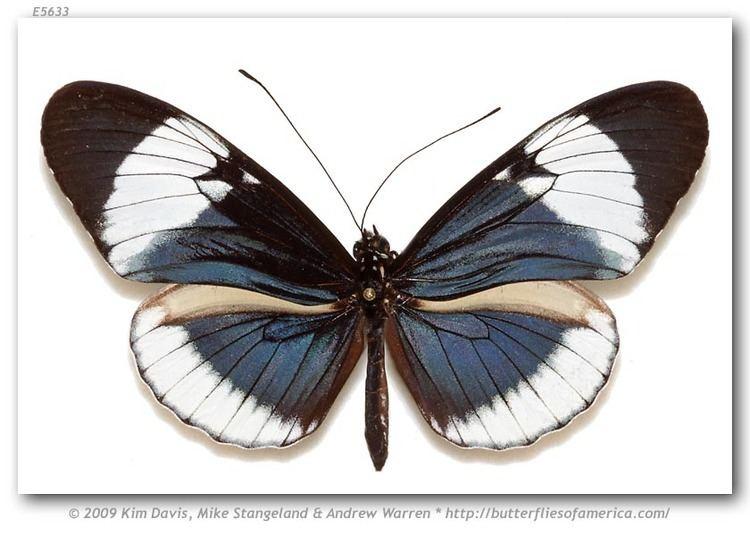 Heliconius cydno Heliconius cydno chioneus H Bates 1864