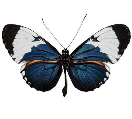 Heliconius cydno Insect Designs Butterflies and Moths Heliconidae Heliconius