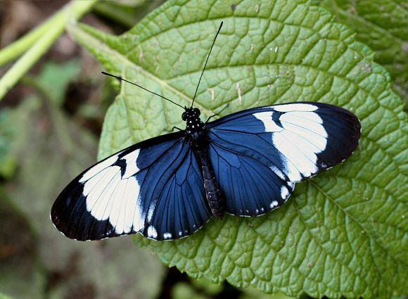 Heliconius cydno Butterflies of North America Heliconius cydno