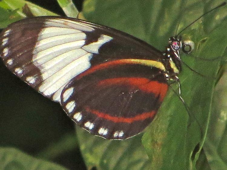 Heliconius cydno johnterahsmileycomheliconiuspassifloraflea20b