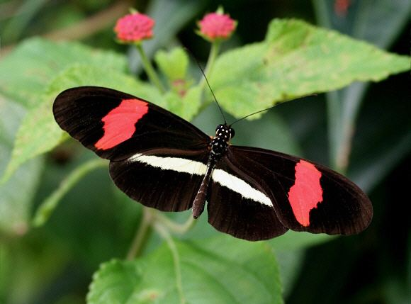 Heliconius erato Butterflies of Amazonia Heliconius erato