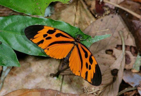 Heliconius numata Butterflies of Amazonia Heliconius numata
