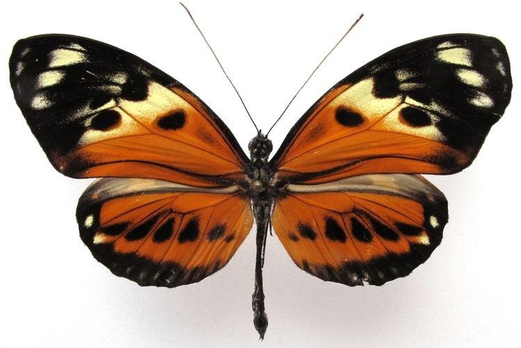 Heliconius numata numata 3 heliconius butterflies