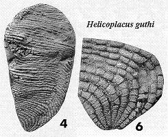 Helicoplacus Helicoplacus guthi