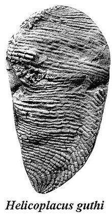 Helicoplacus httpsuploadwikimediaorgwikipediacommonsthu