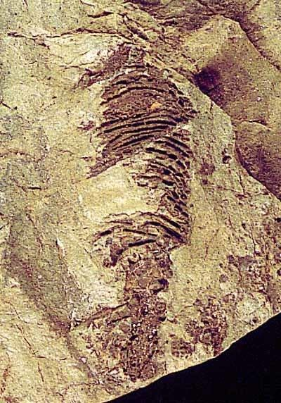 Helicoplacus The Helicoplacoidea