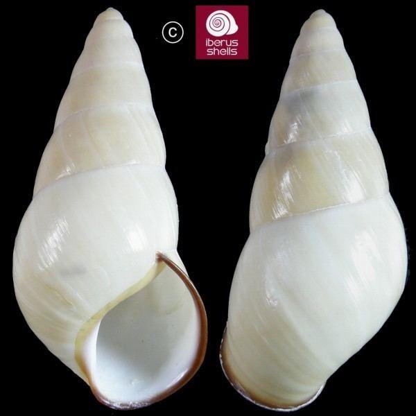 Helicostyla Helicostyla carinata rugata