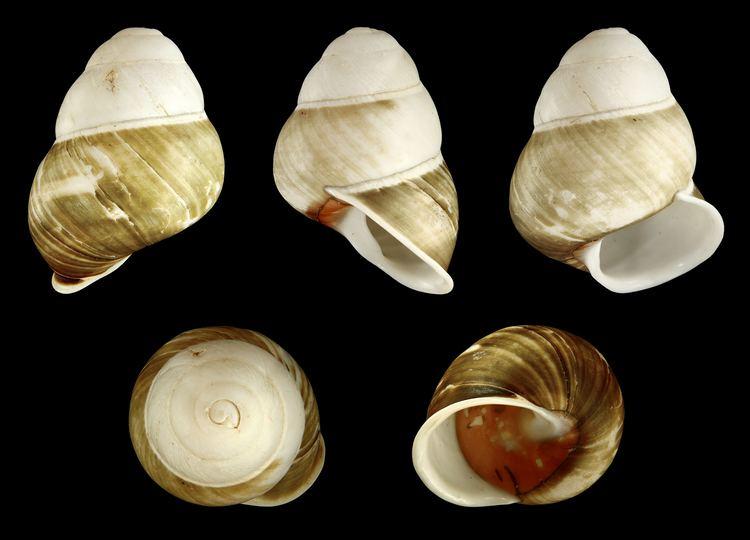 Helicostyla FileHelicostyla florida 01JPG Wikimedia Commons