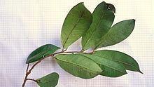 Helicostylis tomentosa httpsuploadwikimediaorgwikipediacommonsthu