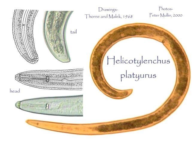 Helicotylenchus Helicotylenchus platyurus
