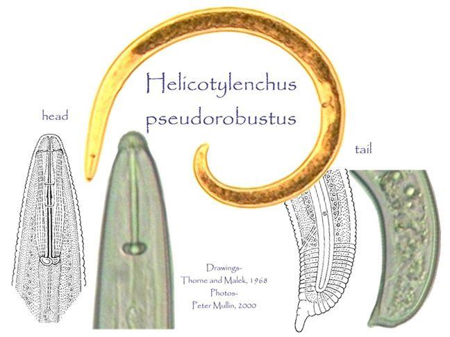 Helicotylenchus Helicotylenchus pseudorobustus