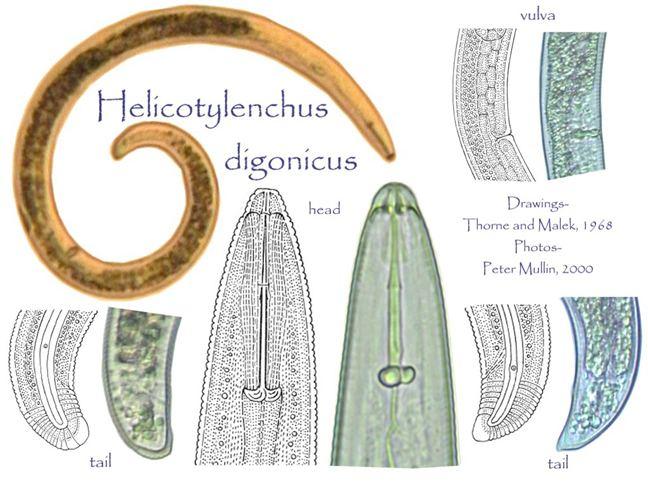 Helicotylenchus Helicotylenchus digonicus
