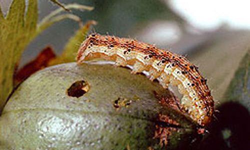 Helicoverpa zea corn earworm Helicoverpa zea