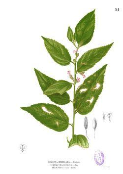 Helicteroideae httpsuploadwikimediaorgwikipediacommonsthu